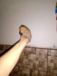 Menina chihuahua