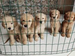 Filhotes de Golden Retriever disponíveis