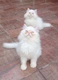 Gato Persa branco, 3 meses de vida