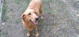 Doação Urgente!! Cadela castrada e vacinada( mistura de labrador + Golden)