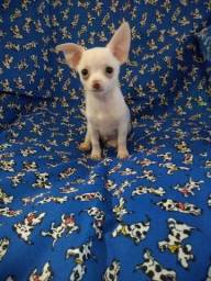 Chihuahua lindos machos Mini 6x no cartão