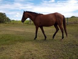 Cavalo quarto de milho- cidade Quissamã