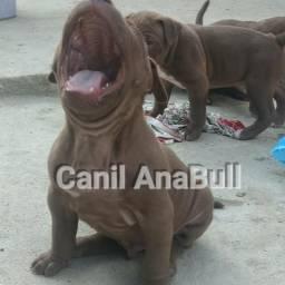 American pitbull terrier cabeça de touro cães puros pedigree zp21986563109
