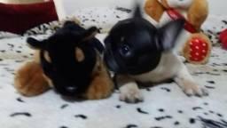 Bulldog francês com pedigree cbkc