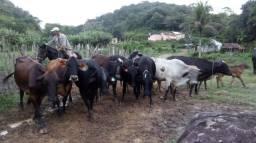 Vacas reprodutoras - Ótimo investimento!!