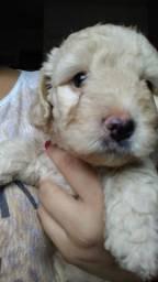 Poodle 2 meses