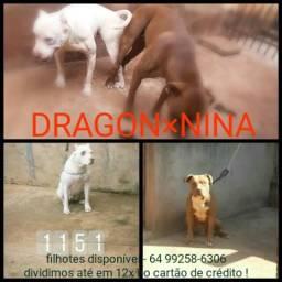 Filhote de pit bull. informações whats app 64 99258-6306