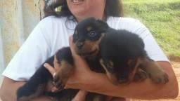 Ninhada de 10 filhotes Rottweiler puros