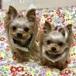 Yorkshire Terrier baby faces Priscila Yorks