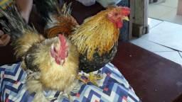 Vendo casal de galinzé é franguinho galinze