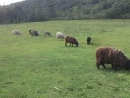 Lote de ovelhas