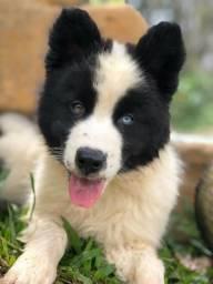 Cachorro Yakutian Laika