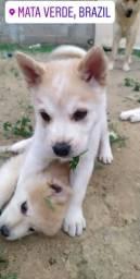 Vendo filhotes de husky siberiano com Chow-Chow