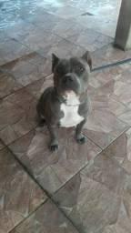 Cachorra pitmonster blue