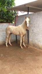 Cavalo garanhao manga larga paulista documentado