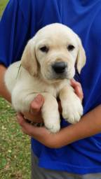 Lindos Filhotinhos de Labrador