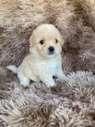 Poodle toy muito miúdo com pedigree
