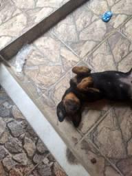 Estou doando um lindo rottweiler ?