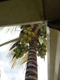 Coqueiro produzindo,vendo