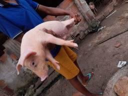 Porco filhote