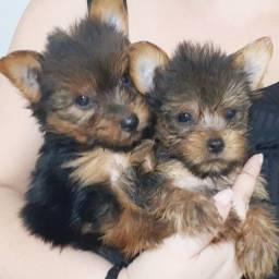 Filhotes de Yorkshire Terrier Macho *Recibo *Garantia *vacinado 2 doses *Pedigree