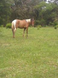 Cavalo pampa crioulo