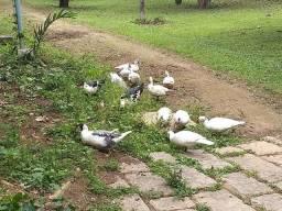 Patos vendo ou troco