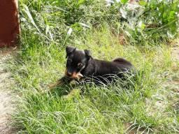 Vendo filhote de Rottweiler.Macho