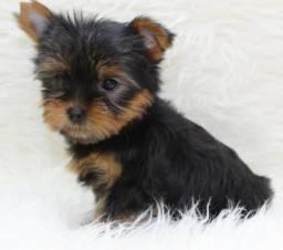 Filhote de Yorkshire Terrier - Com Pedigree, Microchipado, e muito mais