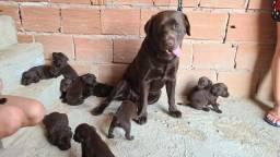 Filhotes de labrador puros com45 dias