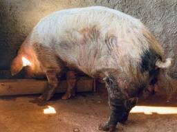 Porco Varão Barrâo