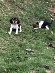 Beagle 13 polegada