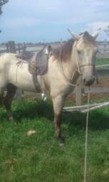 Cavalo manso e castrado