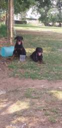 Rottweiler puros