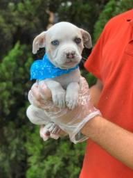 Pitbull filhotinho lindo