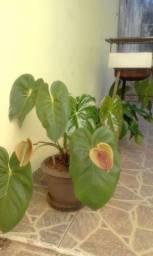 Planta Antúrio