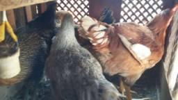 Vendas de frangos e frangas