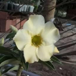 Rosa do deserto amarela