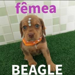 Linda fêmea de beagle vacinada e vermifugada