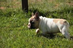 Bulldog francês de excelente qualidade - macho