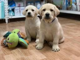Labrador vermifugado é vacinado