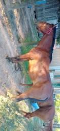 Cavalo domado e manso