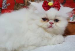 Linda filhote de gata persa femea pura.Entrego em Joinville.Itajai,Camboriu,Florianópolis