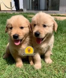 filhotes Golden Retriver com pedigre ( Fotos Reais )