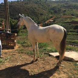 Vendo esse lindo cavalo muito marchador com potencial pra PISTAS