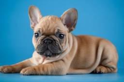 Filhotes Fofos Bulldog Francês
