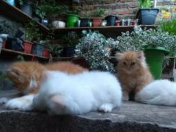 Gatos persas a venda