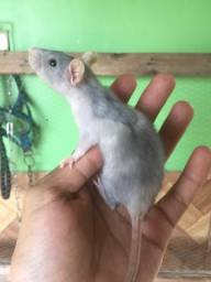 Ratos de laboratorio