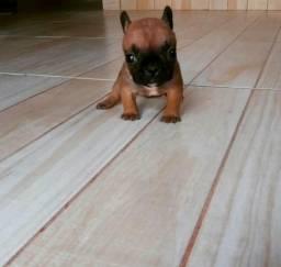 Bulldog francês para reserva