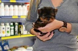 Yorkshire Terrier filhotes vacinados